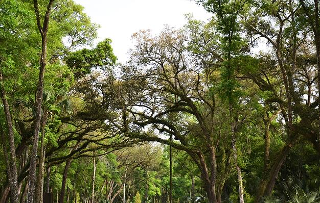 Old Oak Trees in Twenty Mile at Nocatee